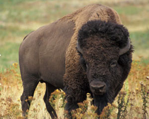 https://moose.inl.gov/AnimalsPortal/Animal%20Pictures/03-bison.jpg