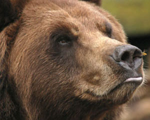https://moose.inl.gov/AnimalsPortal/Animal%20Pictures/05-grizzly.jpg