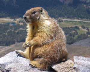 https://moose.inl.gov/AnimalsPortal/Animal%20Pictures/07-marmot.jpg