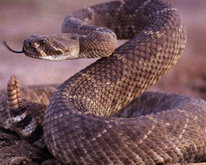 https://moose.inl.gov/AnimalsPortal/Animal%20Pictures/08-rattlesnake.jpg