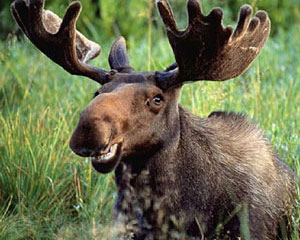 https://moose.inl.gov/AnimalsPortal/Animal%20Pictures/Smiling_Moose.jpg